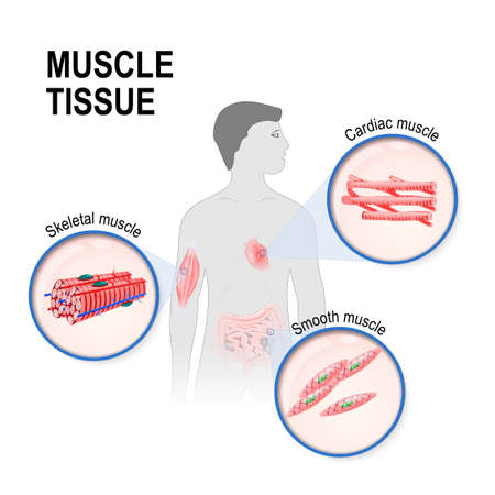 Types of muscle tissue of human body diagram including cardiac types of muscle tissue skeletal smooth and cardiac muscle silhouette of a man ccuart Image collections