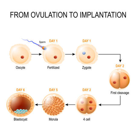 Human embryonic development. from ovulation to implantation. fetal development Illustration