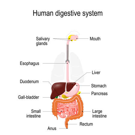 Human Anatomy Digestive System Organs Highlighted On The