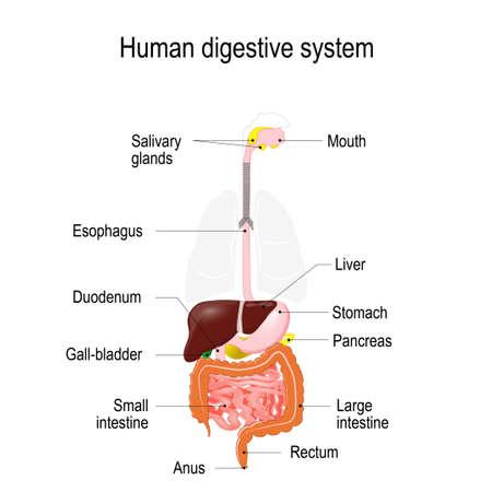 Menschliche Leber Anatomie. Leber, Gallenblase, Speiseröhre, Magen ...