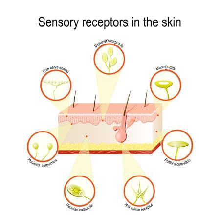 皮膚の感覚受容器。圧力、振動、温度、痛み、かゆみは特別 receptory 器官と神経を介して送信されます。  イラスト・ベクター素材