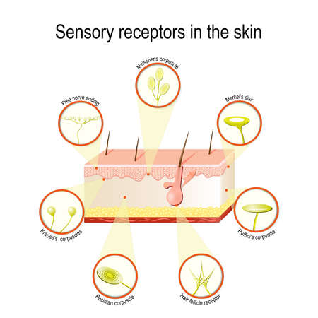 Sensorische receptoren in de huid. Druk, trillingen, temperatuur, pijn en jeuk worden overgedragen via speciale ontvangende organen en zenuwen Stockfoto - 81770965