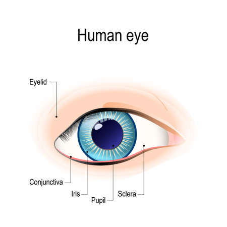 Anatomy of the human eye in front external View. Schematic diagram detailed illustration Vectores