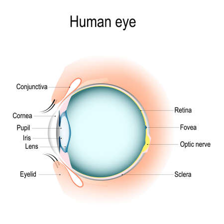 Anatomy of the human eye, vertical section of the eye and eyelids. Schematic diagram detailed illustration.
