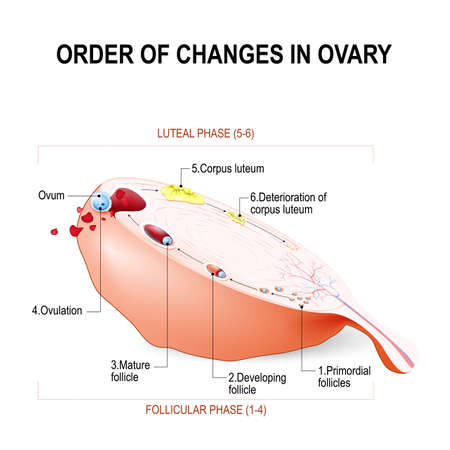 Order of changes in ovary: from Developing follicle to Ovulation and Corpus luteum. Menstruation. Education Chart of Biology. vector Diagram.  イラスト・ベクター素材