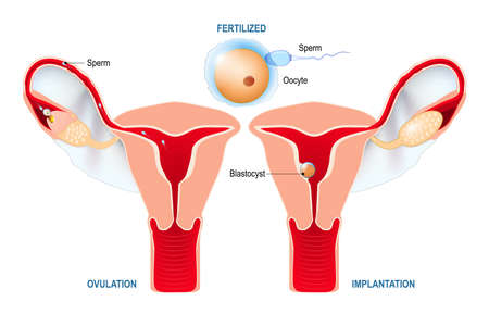 From ovulation to fertilization. development of a human embryo: ovulation, fertilization, implantation of blastocyst in the uterine wall. anatomy of the female reproductive system. uterus with broad ligament on the white background.