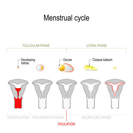 Menstrual cycle. Ovarian cycle: Secretory phase and luteal phase. Uterine cycle: follicular phase, proliferative phase and menstruation. Vector Diagram showing the progression of the menstrual cycle from developing follicle and oocyte to corpus luteum.