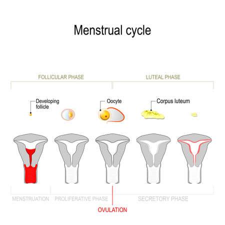 Ciclo menstrual. Ciclo ovárico: fase secretora y fase lútea. Ciclo uterino: fase folicular, fase proliferativa y menstruación. Vector Diagrama que muestra la progresión del ciclo menstrual desde el desarrollo del folículo y el ovocito hasta el cuerpo lúteo. Ilustración de vector