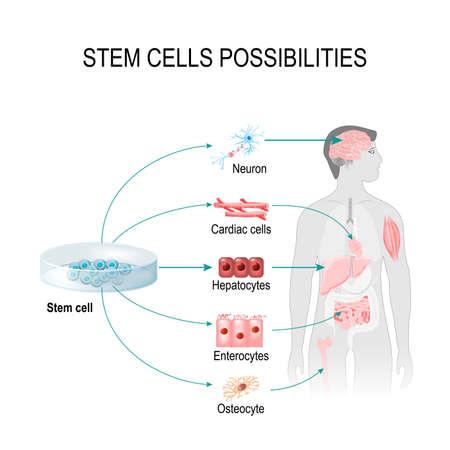 Las posibilidades de las células madre. Estas células pueden convertirse en cualquier tejido del cuerpo. Órganos internos en el fondo de una figura masculina y una célula humana (gepatocytes, osteocyte, cardíaco, enterocytes, neurona).