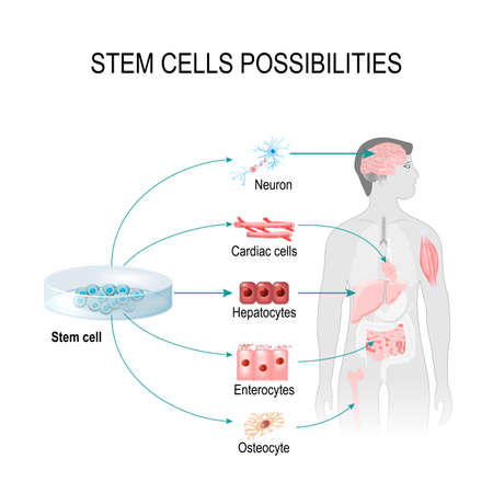 Stem cells possibilities. These cells can become any tissue in the body. Internal organs in the background of a male figure and a human cell (gepatocytes, osteocyte, cardiac, enterocytes, neuron). Ilustração