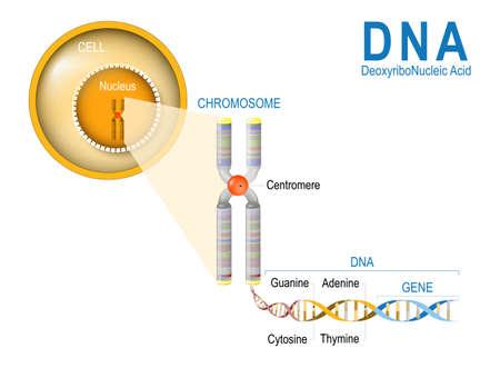 Komórka, chromosom, DNA i gen. Struktura komórkowa. Cząsteczka DNA jest podwójną spiralą. Gen jest długością DNA kodującą konkretne białko. Badanie genomowe