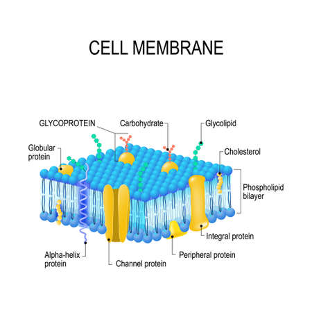 A detailed diagram models of membrane structure Ilustracja