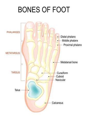 Medizinische Ausbildung Diagramm Der Biologie Für Knochen Des ...