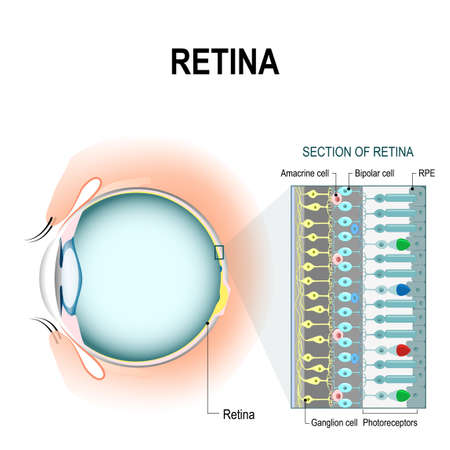 Photoreceptor cells. retinal cells: rod and cone cells, amacrine, ganglion, bipolar cells and RPE. The arrangement of retinal cells is shown in a cross section. infographic of human eye