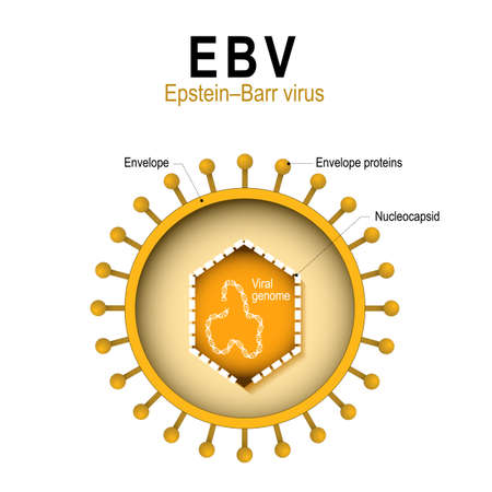 infectious: Epstein–Barr virus (EBV). human herpesvirus 4 (HHV).  diagram of the structure of human herpes virus. the cause of infectious mononucleosis and cancer.