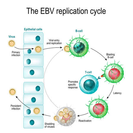 latency: The Epstein–Barr virus (EBV) replication cycle (Entry to the cell, latency and reactivation). human herpesvirus. the cause of infectious mononucleosis and cancer.