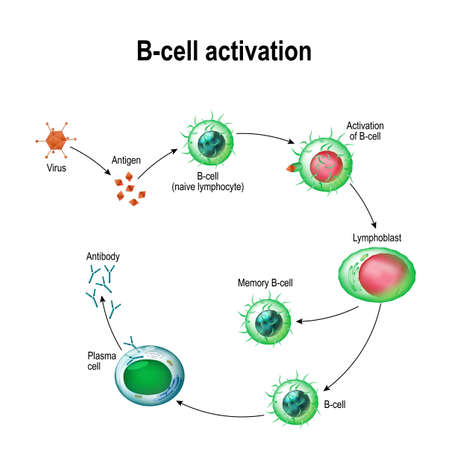 Activation of B-cell leukocytes: lymphoblast, activation, B-cell, memory, virus, plasma cell, antibody, antigen, naive lymphocyte