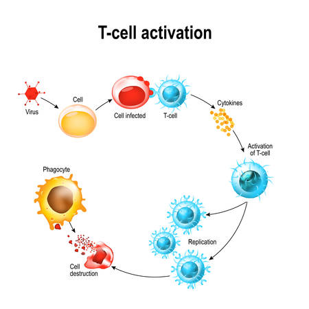 Activation of  T-cell leukocytes. T-cell encounters its cognate antigen on the surface of an infected cell. T cells direct and regulate immune responses and attack infected or cancerous cells. Stock Illustratie