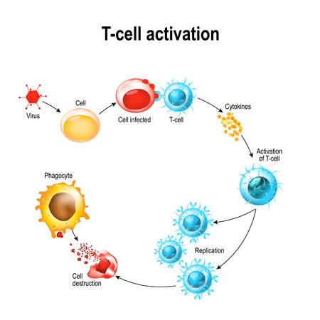 Activatie van T-celleukocyten. T-cel ontmoet zijn verwante antigeen op het oppervlak van een geïnfecteerde cel. T-cellen sturen en reguleren immuunreacties en aanvallen geïnfecteerde of kankercellen.