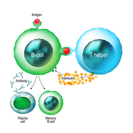 B-cell and T helper cells. Basic B-cells function: bind an antigen, receive help from a T helper cell, and differentiate into a plasma cell that secretes large amounts of antibodies. Human immune system Фото со стока - 84856801