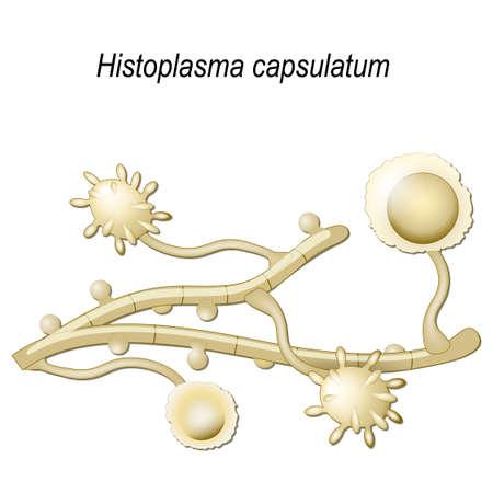 Histoplasma capsulatum is a fungus cause disease of lungs.