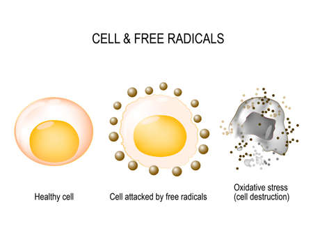 cell and free radicals. Healthy cell attacked by free radicals and oxidative stress with cell destruction. vector diagram