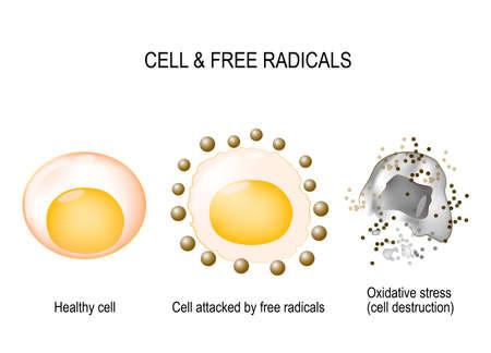 zelle und freie radikale. Gesunde Zelle, die durch freie Radikale und oxidativen Stress mit Zellzerstörung angegriffen wird. vektordiagramm