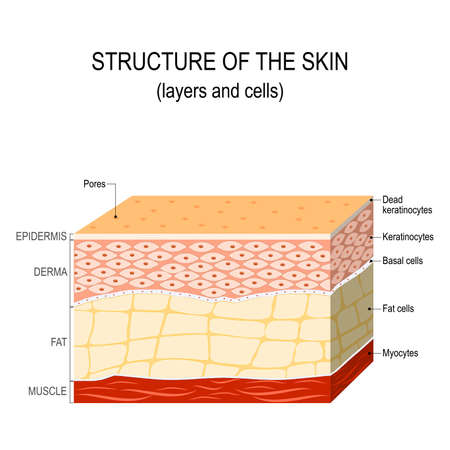 Structure of the human skin. Layers and cells