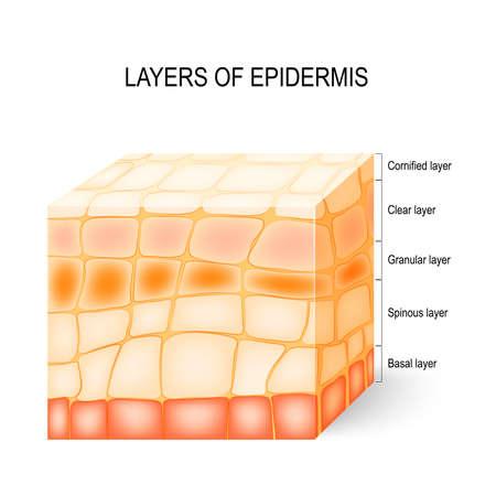 Couches de l'épiderme: couche cornée, claire, granuleuse, épineuse et basale.