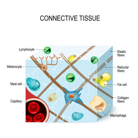 Connective tissue that supports, binds, or separates more specialized tissues and organs of the body.  Illustration showing a section of connective tissue with capillary, cells (lymphocyte, fat, melanocyte, macrophages, mast cell) and fibers (elastic, col Zdjęcie Seryjne - 87443282