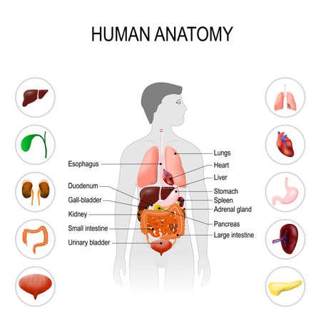 인체 해부학. 흰색 배경에 내부 장기와 의료 포스터입니다. 남자의 실루엣입니다. 벡터 일러스트 레이 션. 편집하기 쉽다. 일러스트