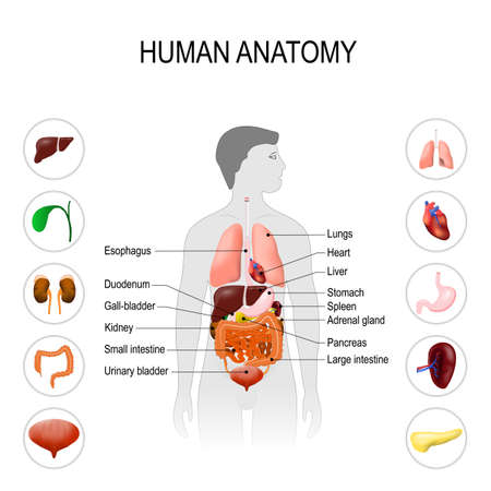 human anatomy. Medical poster with internal organs on white background. silhouette of a man. vector illustration. easy to edit Иллюстрация