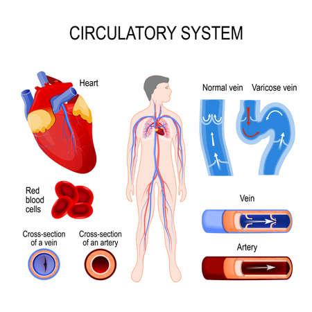 Illustratie van het circulatie systeem.