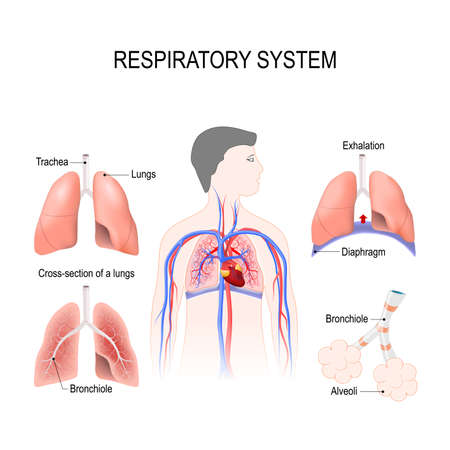 respiratory system: bronchiole and bronchi, diaphragm, trachea, alveoli and cross-section of the lungs. Vector illustration for your design and medical use. human anatomy. silhouette of a man on white background.