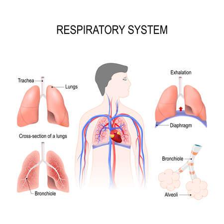 Sistema respiratorio: bronquiolos y bronquios, diafragma, tráquea, alvéolos y corte transversal de los pulmones. Ilustración vectorial para su diseño y uso médico. anatomía humana. Silueta de un hombre sobre fondo blanco. Ilustración de vector
