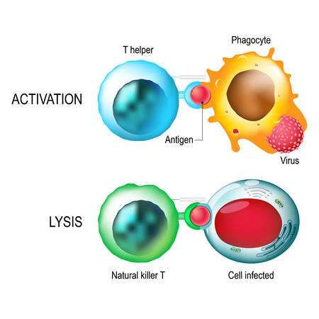 leukocyte: T-cell. Activation and lysis of the leukocytes.