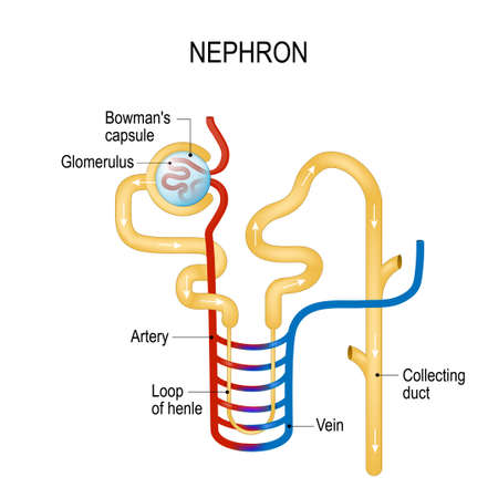 Structure of a Nephron. 矢量图像