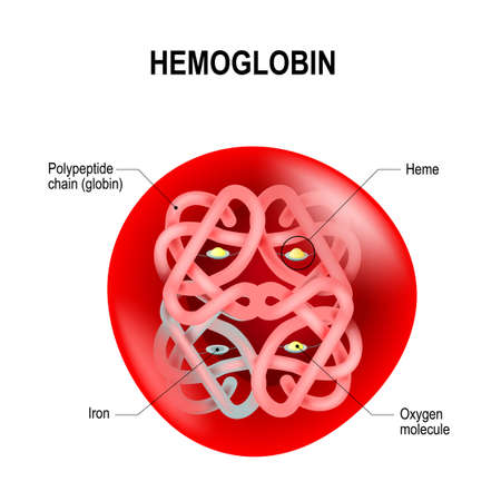 Red blood cell with hemoglobin illustration.