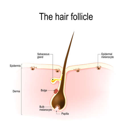 Anatomie du follicule pileux. la distribution des mélanocytes différenciés et immatures est montrée. Banque d'images - 88931985