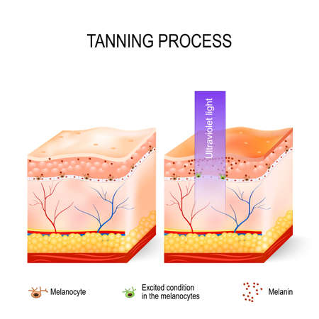 melanin: Tanning process. When ultraviolet light waves touch melanocytes, they begin to increase the production of melanin. The skin becomes dark color. Skincare Illustration