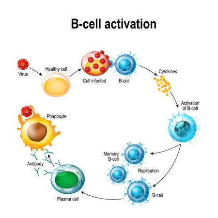 Activation of B-cell leukocytes illustration.