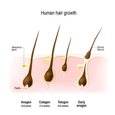 모발 성장. anagen은 성장기입니다. 유 전적으로 퇴행성 단계이다. 휴지기 (telogen) 등이있다. 벡터 다이어그램