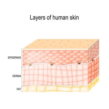 皮膚の層。(角質層や顆粒層) の表皮、真皮 (結合組織) と皮下脂肪 (脂肪質ティッシュ)。健康な人間の皮膚。医療用のベクトル図です。