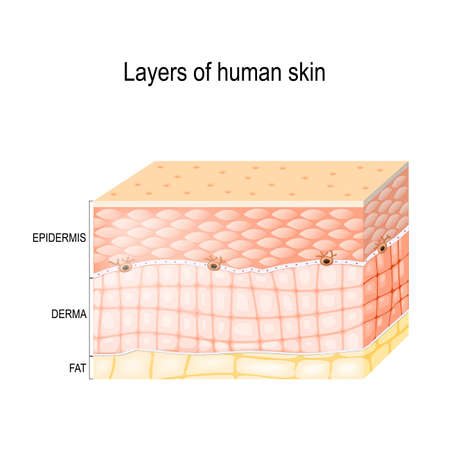 Layers Of Skin. Epidermis (horny layer and granular layer), Dermis (connective tissue) and Subcutaneous fat (adipose tissue). Healthy human skin. Vector diagram for medical use.