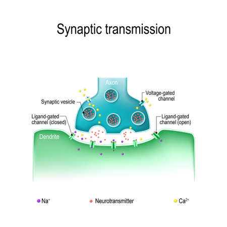 Synaptic transmission. Structure of a typical chemical synapse. Neurotransmitter release mechanisms. Neurotransmitters are packaged into synaptic vesicles transmit signals from a neuron to a target cell.