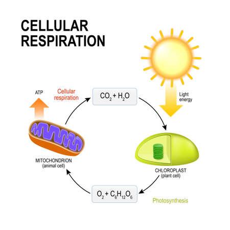 Cellulaire ademhaling. vectordiagram presentatie van de processen van aerobe cellulaire ademhaling. Verbindende cellulaire ademhaling en fotosynthese Stock Illustratie