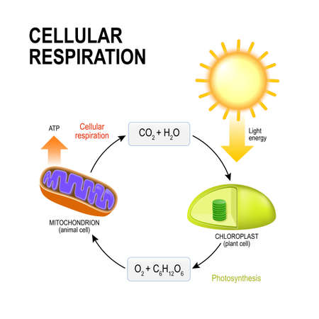 Cellular respiration. vector diagram presentation of the processes of aerobic cellular respiration. Connecting Cellular Respiration and Photosynthesis Vettoriali