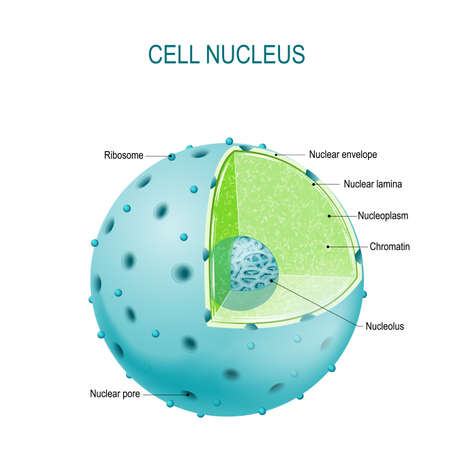 Structure of Nucleus. parts of the cell nucleus: nuclear envelope, nucleoplasm, nuclear matrix, chromatin and nucleolus