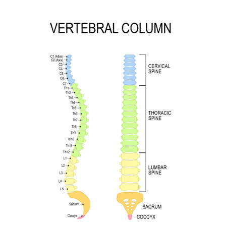 Vertebral column: cervical, thoracic and lumbar spine, sacrum and coccyx. Numbering order of the vertebrae of the human spinal column. Vector diagram for medical use Ilustracja