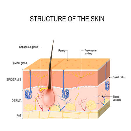 Layers Of Human Skin With Hair Follicle Sweat And Sebaceous